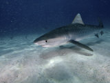 A tiger shark swimming over the ocean's sandy bottom Photographic Print by Brian J. Skerry