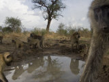 Baboons drink from a waterhole made by swimming pool overflow Photographic Print by Michael Nichols