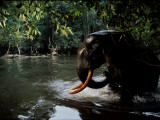 A camera trap captures a forest elephant wading through water Photographic Print by Michael Nichols