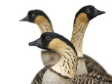Hawaiian geese at the Great Plains Zoo Photographic Print by Joel Sartore