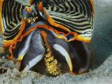 A blenny perches on an armina nudibranch attacking a sea pen Photographic Print by David Doubilet