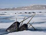 Narwhals come up in seal holes and rotten ice to catch a breath Photographic Print by Paul Nicklen
