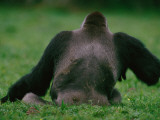 A Western Lowland Gorilla Sitting in Grass Photographic Print by Michael Nichols