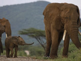 A calf trails a large bull elephant Photographic Print by Michael Nichols
