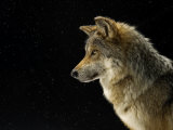A Mexican gray wolf at the Wild Canid Survival and Research Center Fotografisk tryk af Joel Sartore
