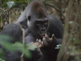 A western lowland gorilla eats termites from his palm Photographic Print by Ian Nichols