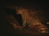 A leopard straddles its impala prize in South Africa Photographic Print by Chris Johns