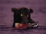 A Grizzly Bear Meets Success Night Fishing for Salmon Photographic Print by Joel Sartore