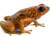 An threatened Oophaga sylvatica frog Photographic Print by Joel Sartore