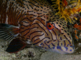 A grouper fish Photographic Print by Jennifer Hayes