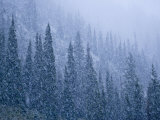 Early snowfall on evergreen trees on the west side of Logan Pass Photographic Print by Michael Melford