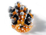 A toxic Phyllidia ocellata nudibranch Photographic Print by David Doubilet