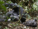 Kingo rests in the leaf litter as son Kusu lies near Photographic Print by Ian Nichols