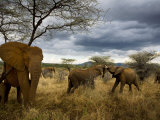 Adolescent elephants tussle amiably Fotografisk tryk af Michael Nichols
