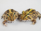 A pair of vulnerable Pacific horned frogs Photographic Print by Joel Sartore