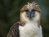 A captive male Philippine Eagle at the Philippine Eagle Center Fotografisk tryk af Klaus Nigge