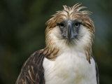 A captive male Philippine Eagle at the Philippine Eagle Center Photographic Print by Klaus Nigge