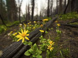 Wildflowers blooming in the remains of a forest fire Photographic Print by Mark Thiessen