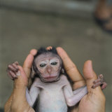 An infant long tailed macaque for sale in a Jakarta animal market Photographic Print by Lynn Johnson