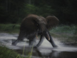 A female elephant charges toward the photographer near Dzanga Bai Photographic Print by Michael Nichols