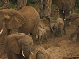 An elephant matriarch is followed by tiny calves Photographic Print by Michael Nichols