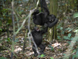 Playtime for a pair of juvenile western lowland gorillas Photographic Print by Ian Nichols