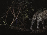 A leopard silently prowls deep in the forest in search of a meal Photographic Print by Michael Nichols