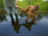 An orangutan orphan clings to the hand of a human protector Photographic Print by Mattias Klum