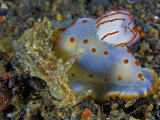 A Gymnodoris ceylonica nudibranch feeding on a sea hare Photographic Print by David Doubilet