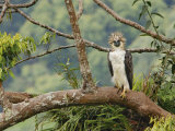 A female Philippine eagle perches on a branch beside her nest Fotografisk tryk af Klaus Nigge