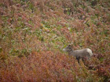 Bighorn sheep, Ovis canadensis, in first snow of autumn Photographic Print by Michael Melford