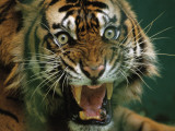 Close-up of a snarling tiger (Panthera tigris) Photographic Print by Michael Nichols
