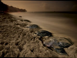 Leatherback turtles nesting on Grande Riviere Beach Photographic Print by Brian J. Skerry