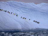 Adelie penguins totter single file toward open water in Antarctica Photographic Print by Des & Jen Bartlett