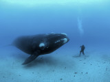 A diver has a close encounter wih a southern right whale Fotoprint van Brian J. Skerry