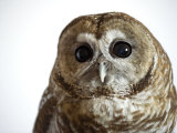 A threatened Mexican spotted owl Fotografie-Druck von Joel Sartore