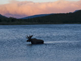 A moose, Alces alces, swimming in Redrock Lake Photographic Print by Michael Melford