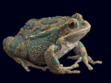 An endangered marsupial frog Photographic Print by Joel Sartore