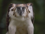 Portrait of a captive Philippine eagle Photographic Print by Klaus Nigge