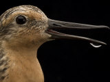 Close view of a red knot sandpiper Photographic Print by Joel Sartore
