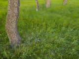 Summer grass and wildflowers among trees at Waterton Lakes Photographic Print by Michael Melford