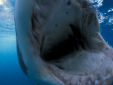 A Great White Shark Opens His Mouth Displaying Rows of  Sharp Teeth Photographic Print by David Doubilet