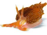 A toxic Godiva species of nudibranch Photographic Print by David Doubilet