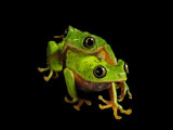 A pair of endangered lemur leaf frogs Photographic Print by Joel Sartore