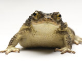 An endangered Puerto Rican crested toad Photographic Print by Joel Sartore