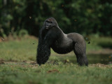 A Silverback Western Lowland Gorilla in Odzala Park Photographic Print by Michael Nichols