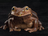 An endangered Expada's marsupial frog Photographic Print by Joel Sartore