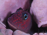 A combtooth blenny, only a few inches long, hides from predators Photographic Print by Brian J. Skerry