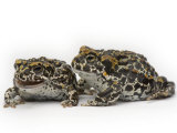 A pair of endangered Yosemite toads Photographic Print by Joel Sartore