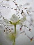 Michael Melford - A bog star flower in a river-edge meadow Fotografická reprodukce